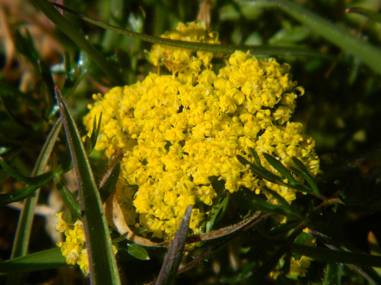 Spring gold - Lomatium utriculatum