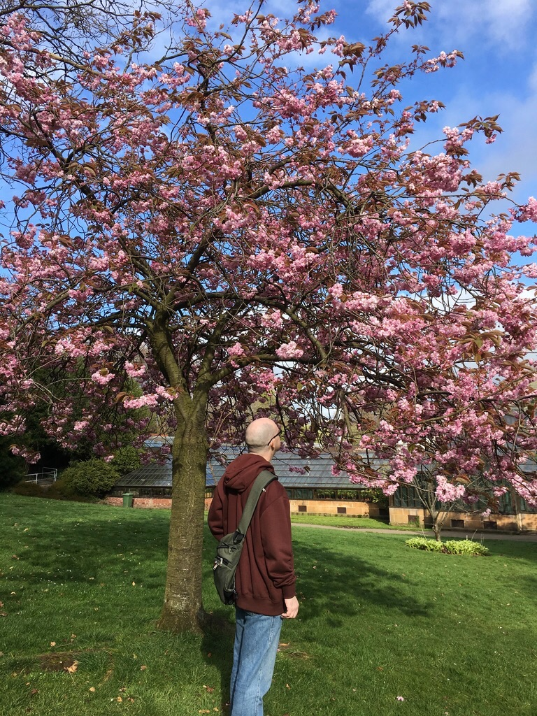 Dogo Sensei standing in a city park, with his back to the camera, looking at trees full of cherry blossom. He wears blue jeans and a maroon hoodie and a small shoulder bag