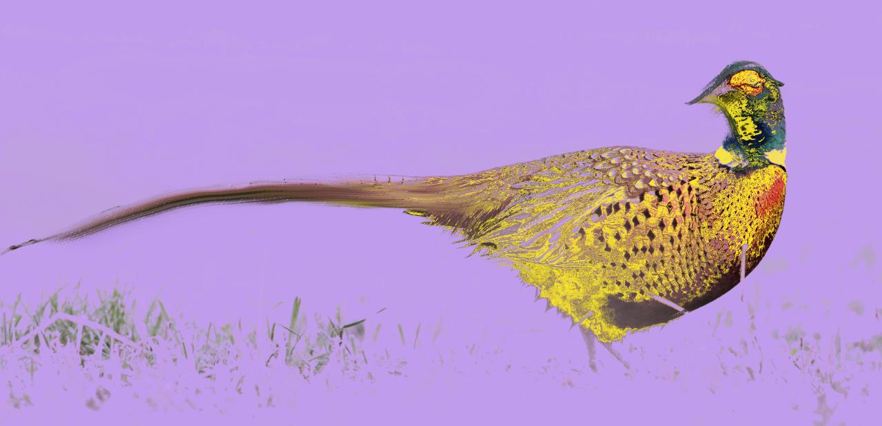 image d'un faisan peint