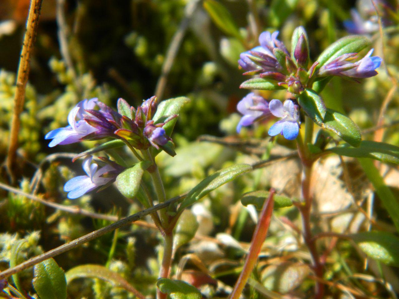 Blue-eyed mary - Collinsia parviflora