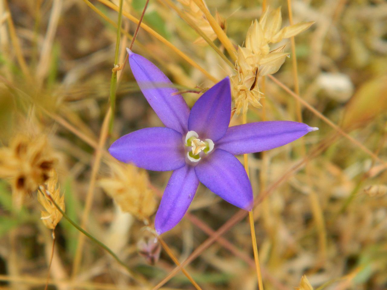 Crown Brodiaea - Brodiaea coronaria