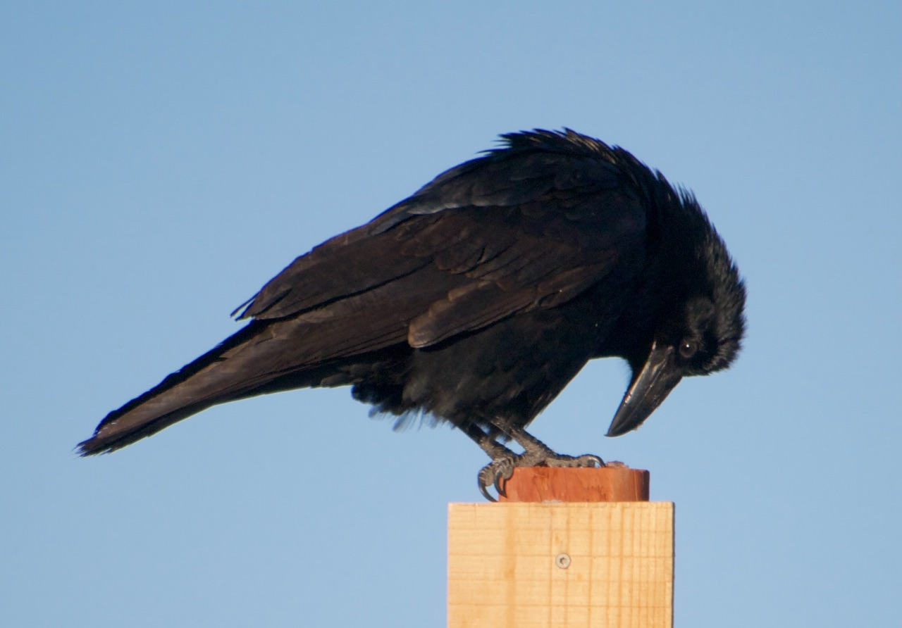 Raven on top of a post