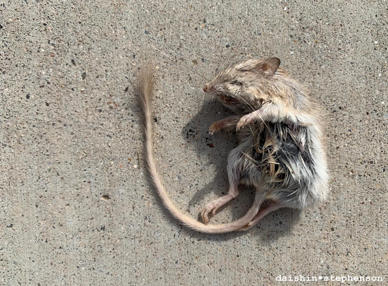 dead kangaroo rat