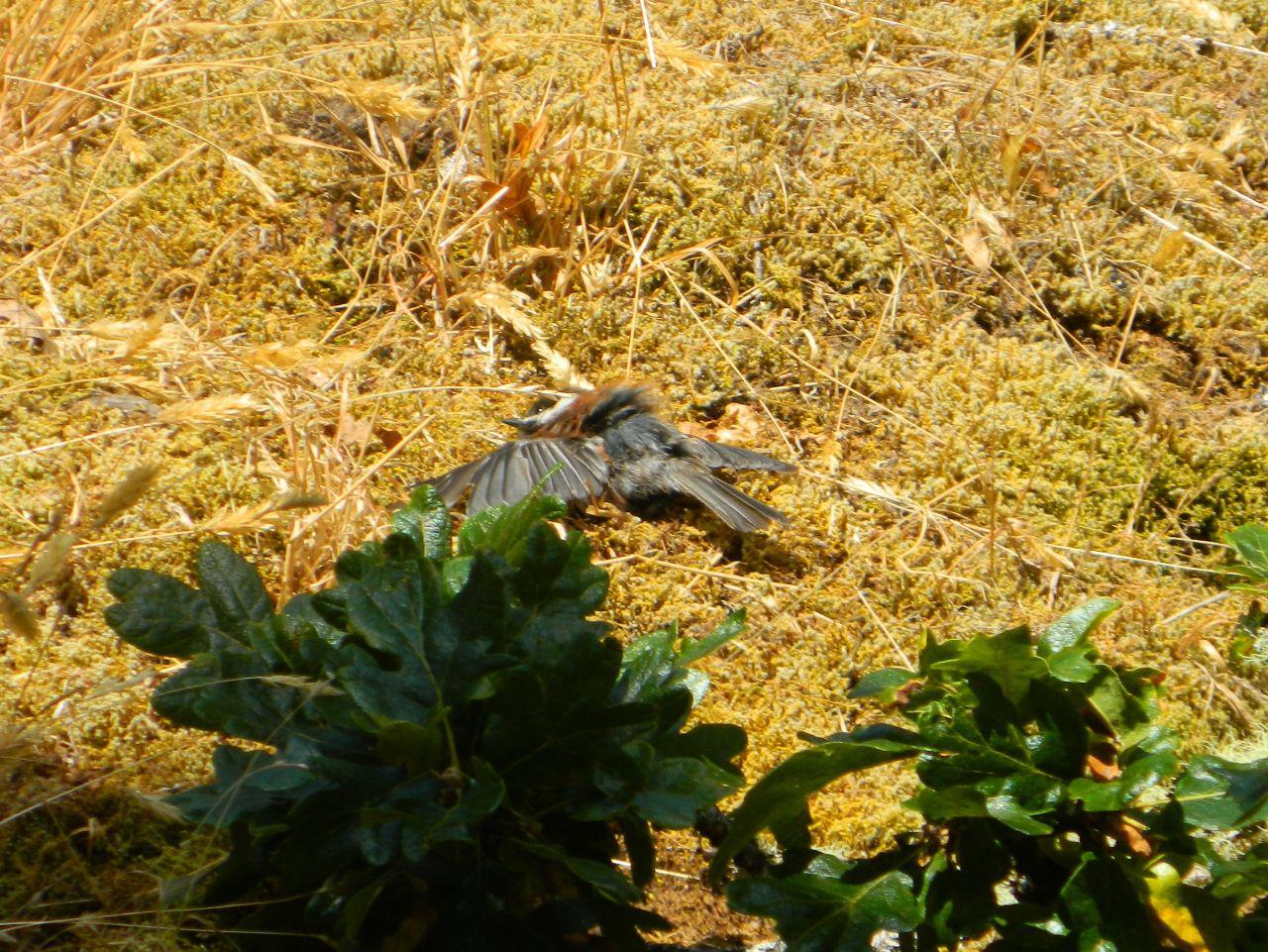chickadee sunning more