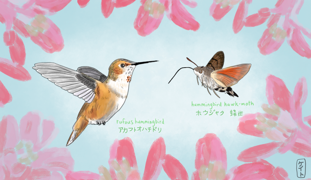 rufous hummer vs hawk moth