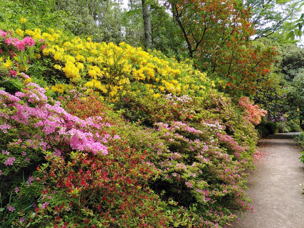 A large collection of bushes on the left, cloud-like and festooned with flowers of all varieties from pink to red to yellow to orange. The smell of weed was back from the yellow flowers. Path walks along the right of the image turning off-screen.