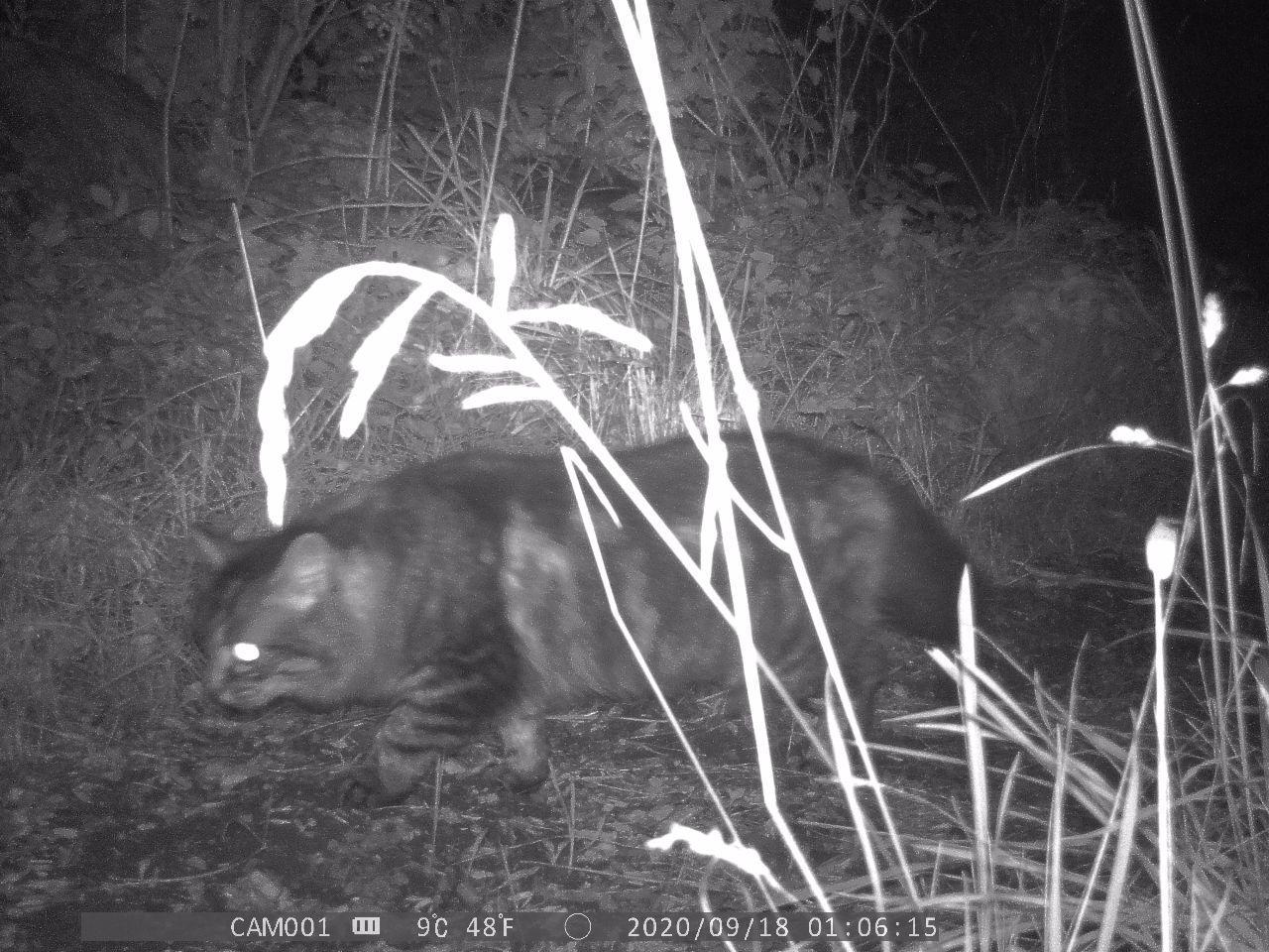 Wildcat crosses the frame