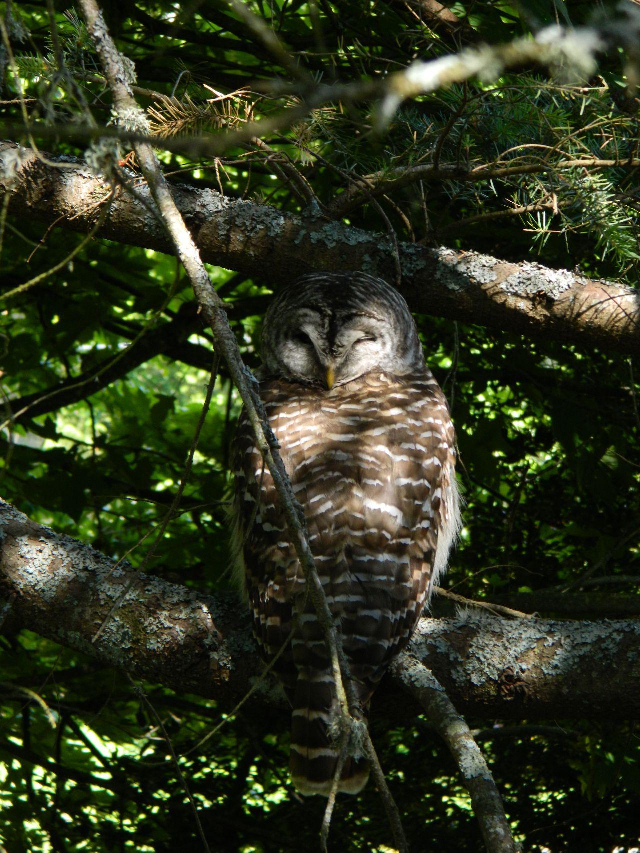 barred owl swivel head