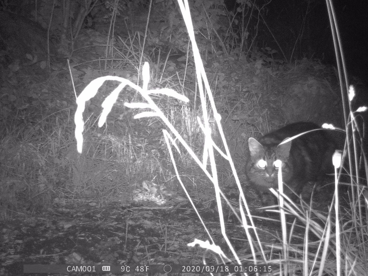 Wildcat enters from the right, eyes glowing and alert