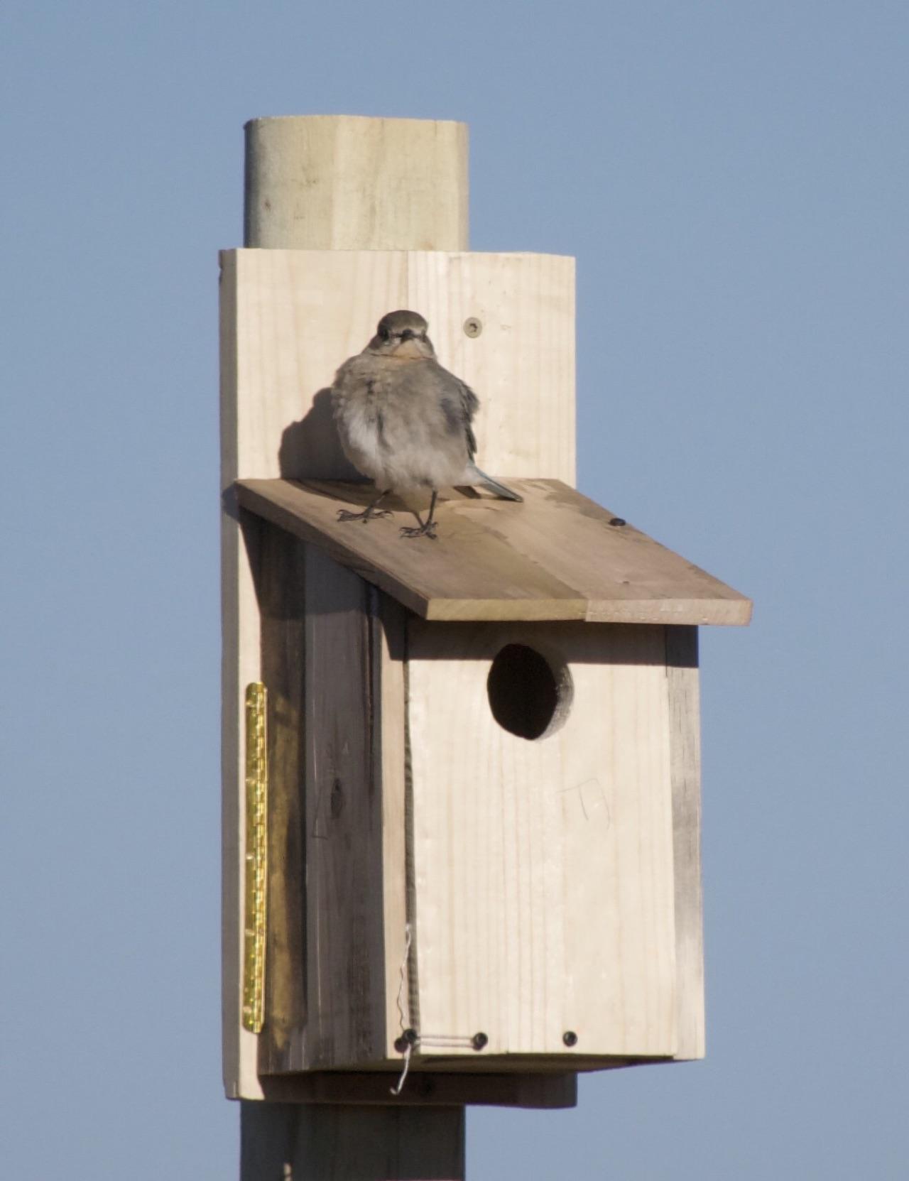 Female bluebird sitting on the birdhouse