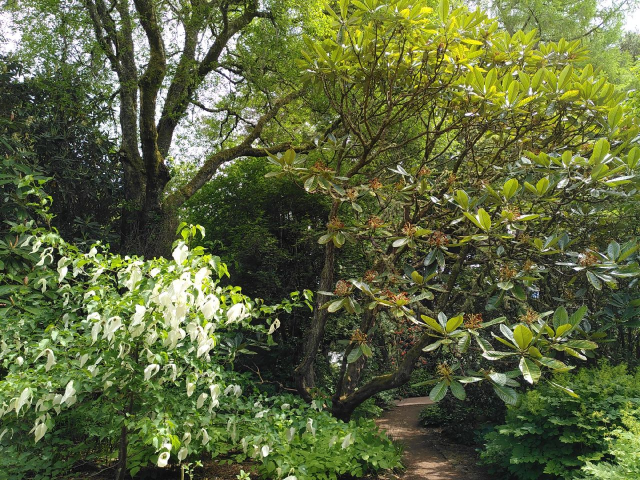A rhododendron leans across the fine-gravel path behind a bush with ghostly flowers that hang rice-paper like in the breeze. The background has a tall tree.