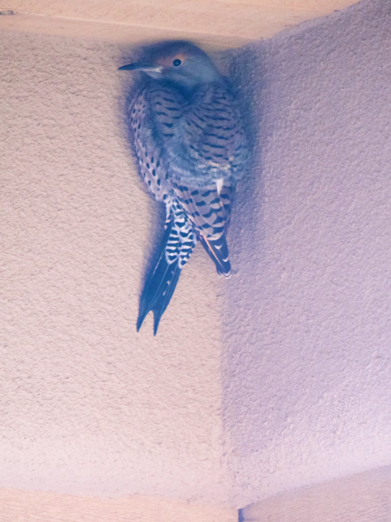 Northern Flicker, hiding from the wind in our portale.