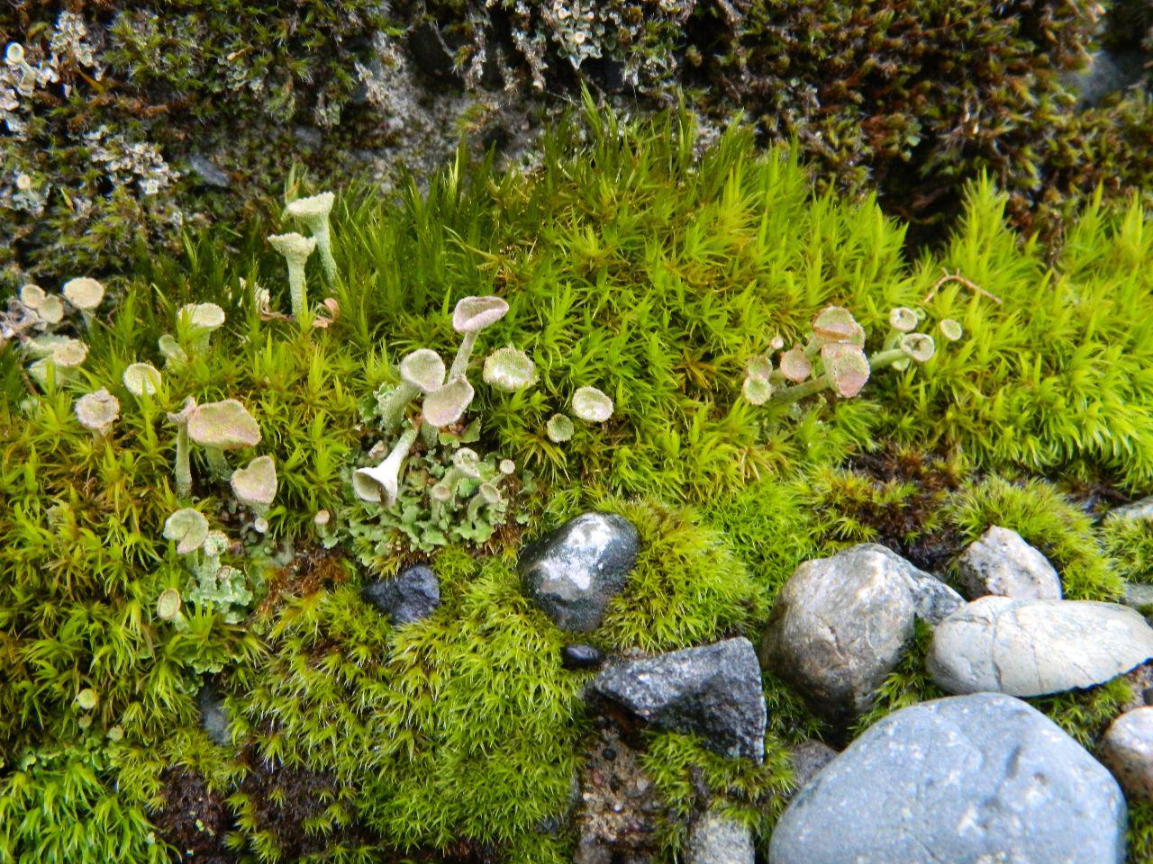 pixie cups moss rocks