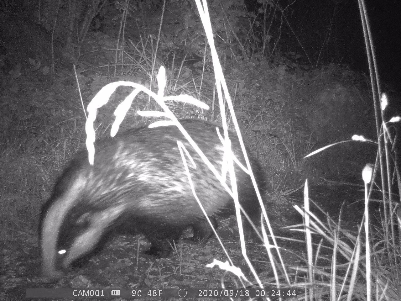 Badger walks through centre-frame nose sniffing along the ground