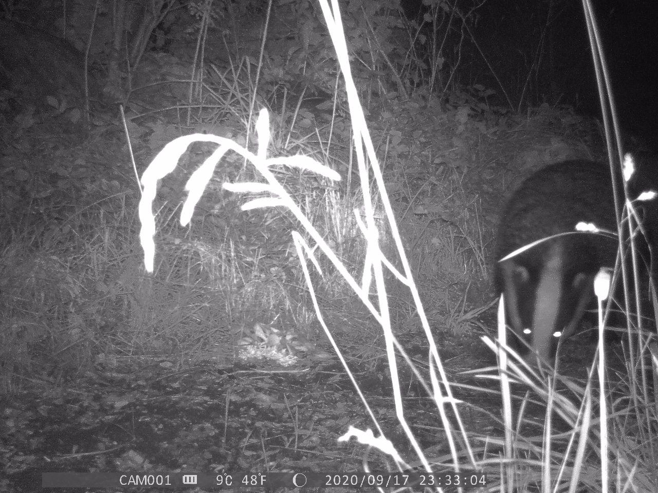 Badger enters scene right. Eyes glowing with the reflection of the camera's light