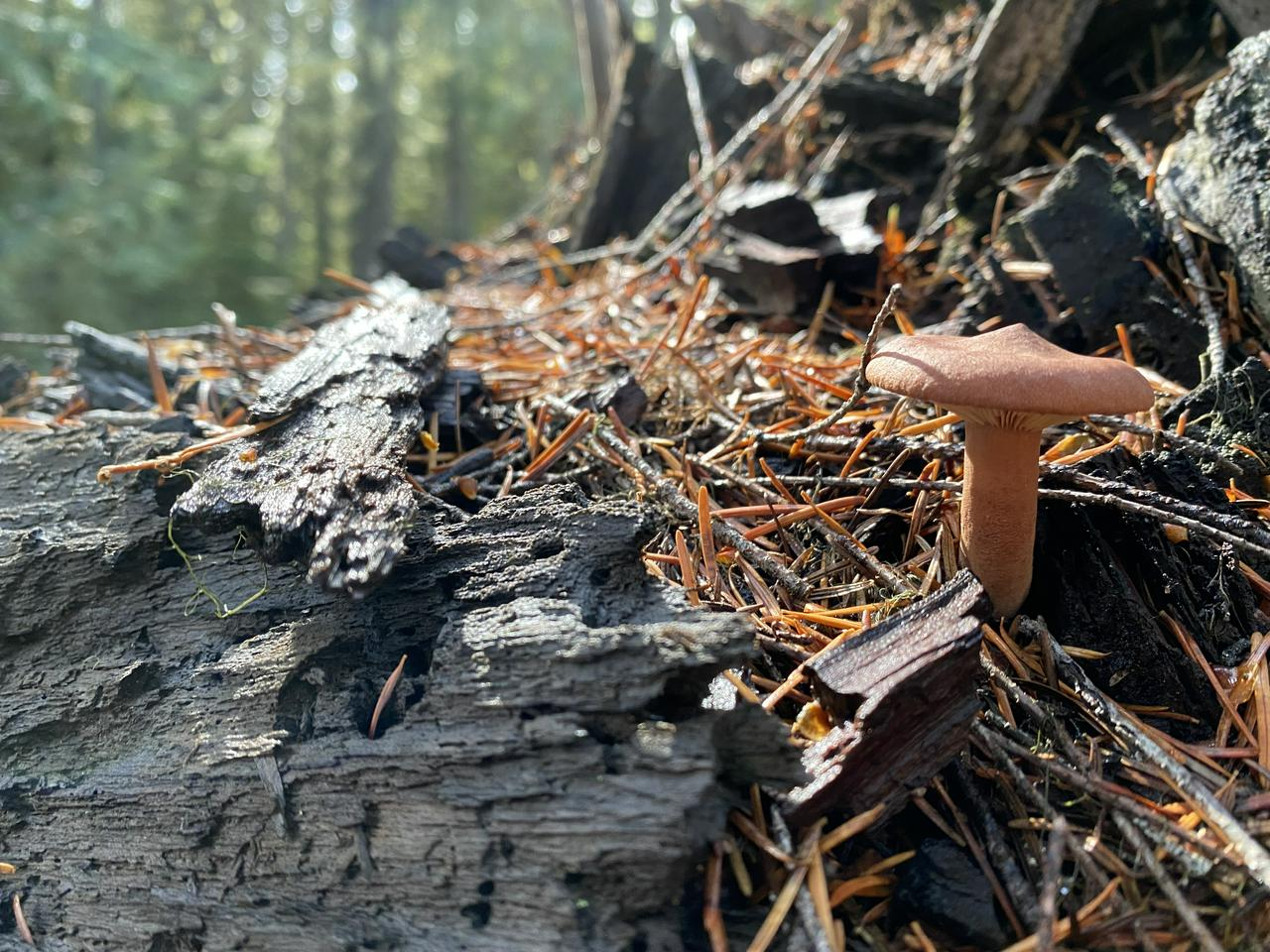 woodshroom
