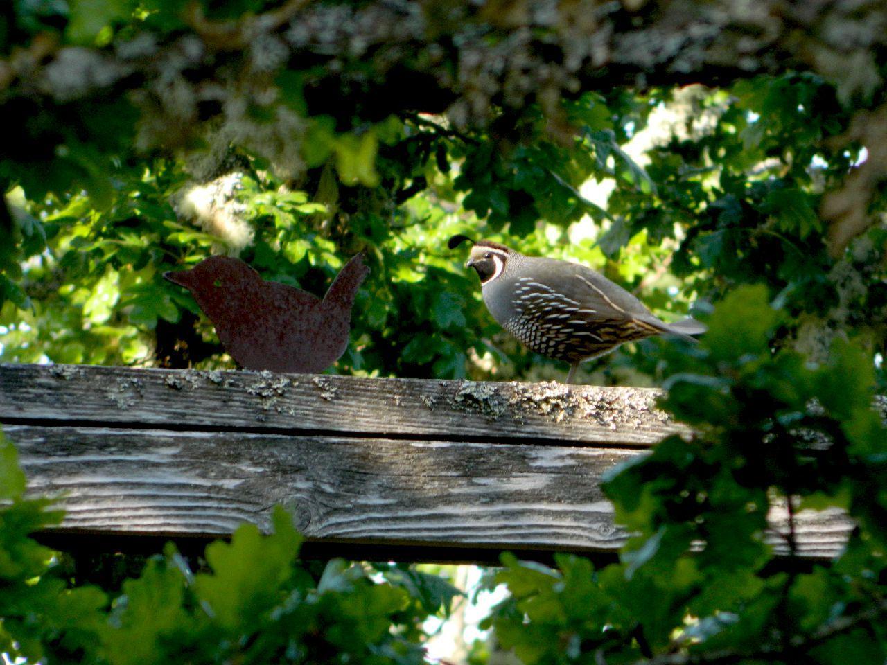 quail wren