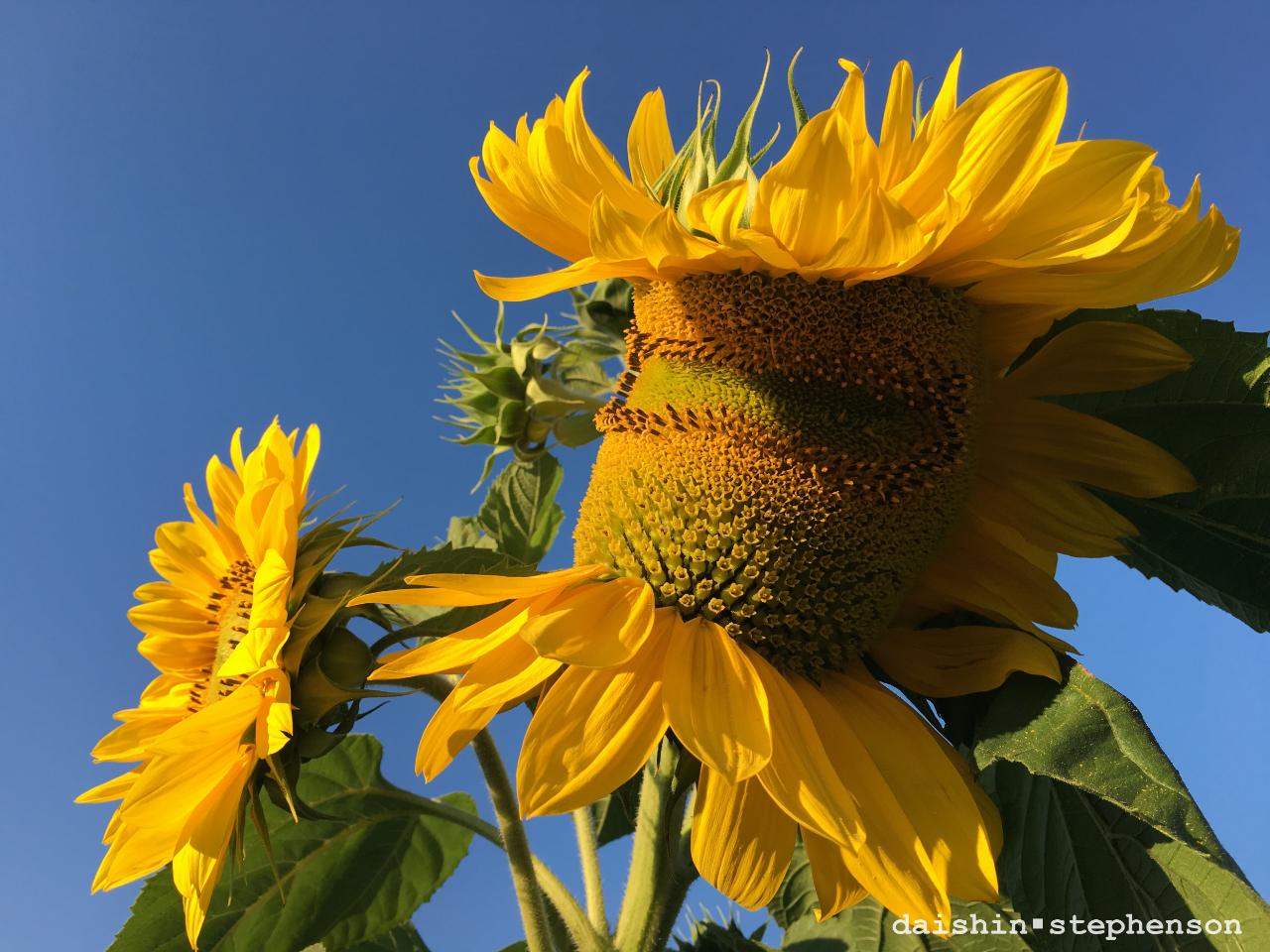 deformed sunflower