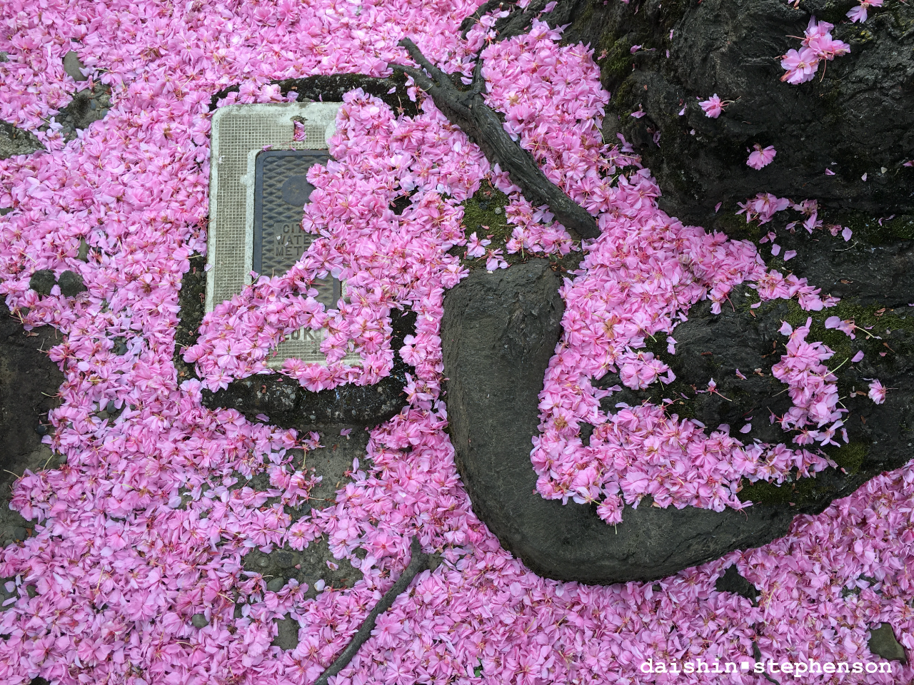 sidewalk covered with fallen cherry blossoms