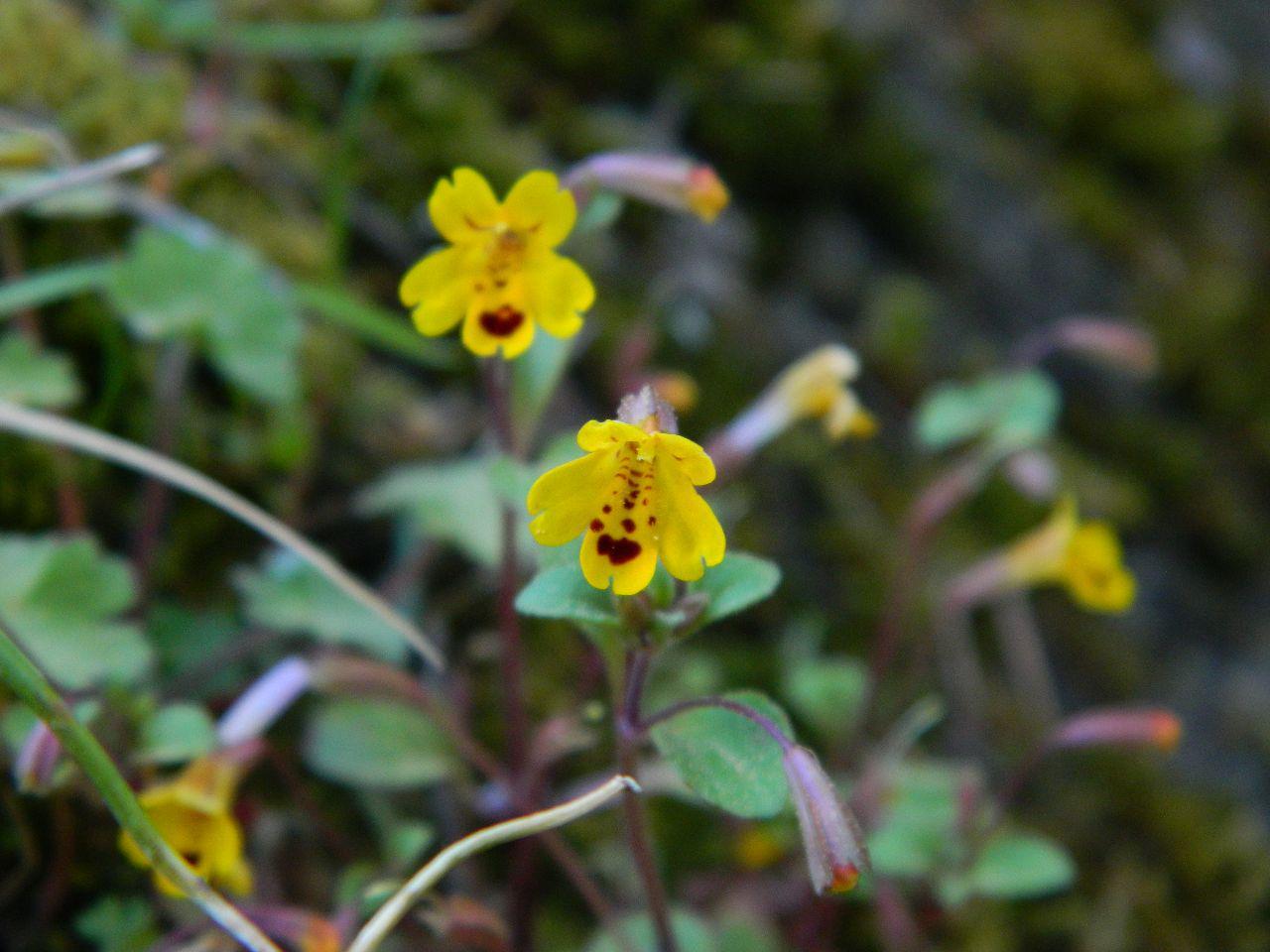 monkey flower - Mimulus alsinoides