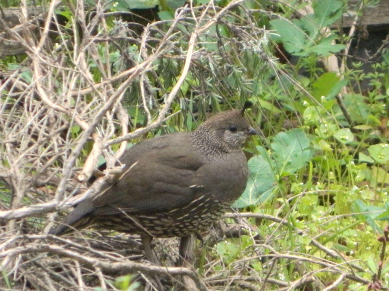 watch quail female
