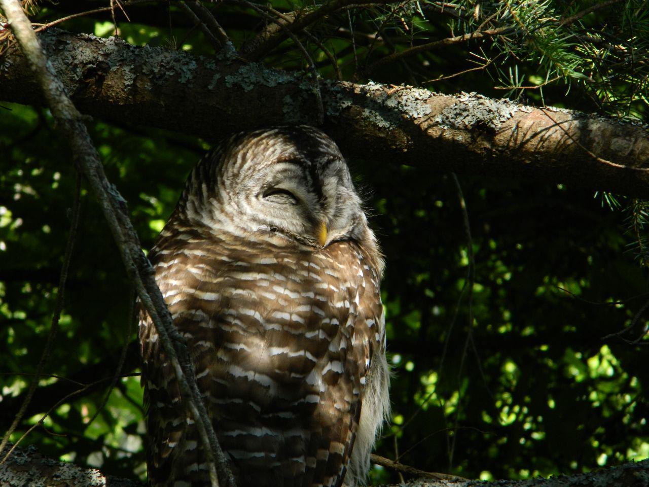 barred owl smile