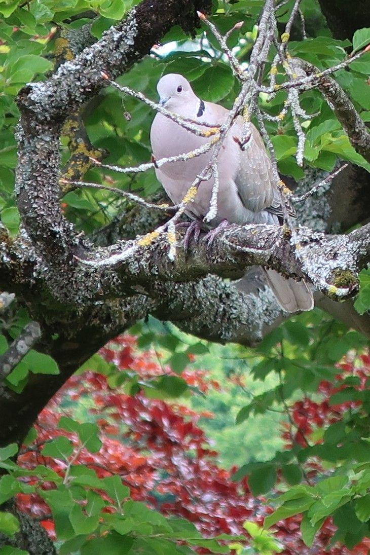 Photo of Collared Dove in tree outside my front window 17 May 2020