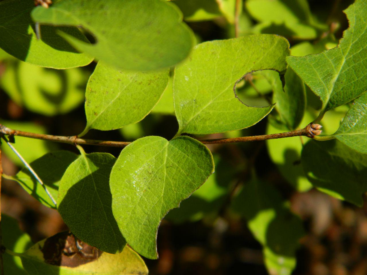 Snowberry leaves with holes