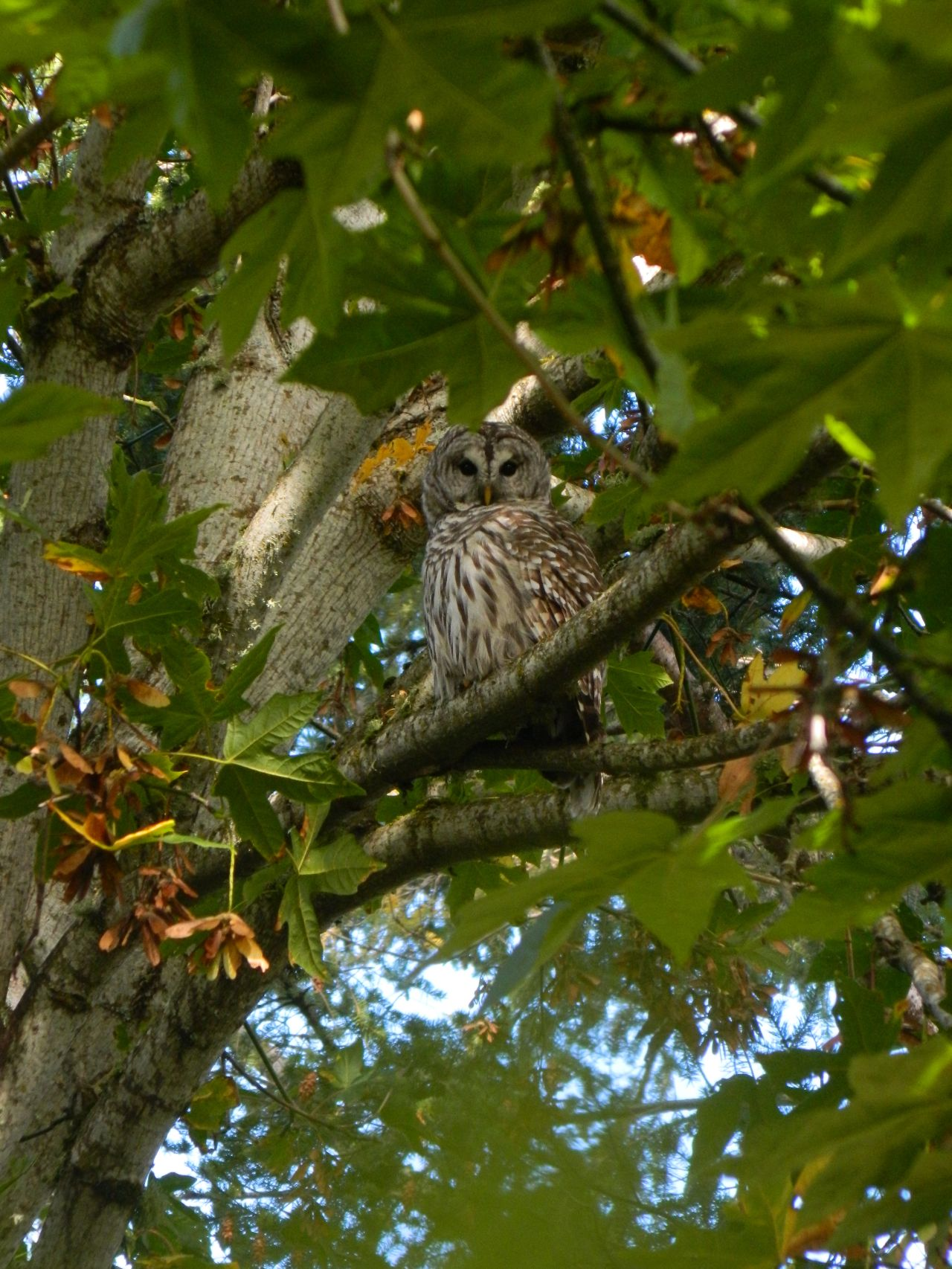 Barred owl watching from the maple