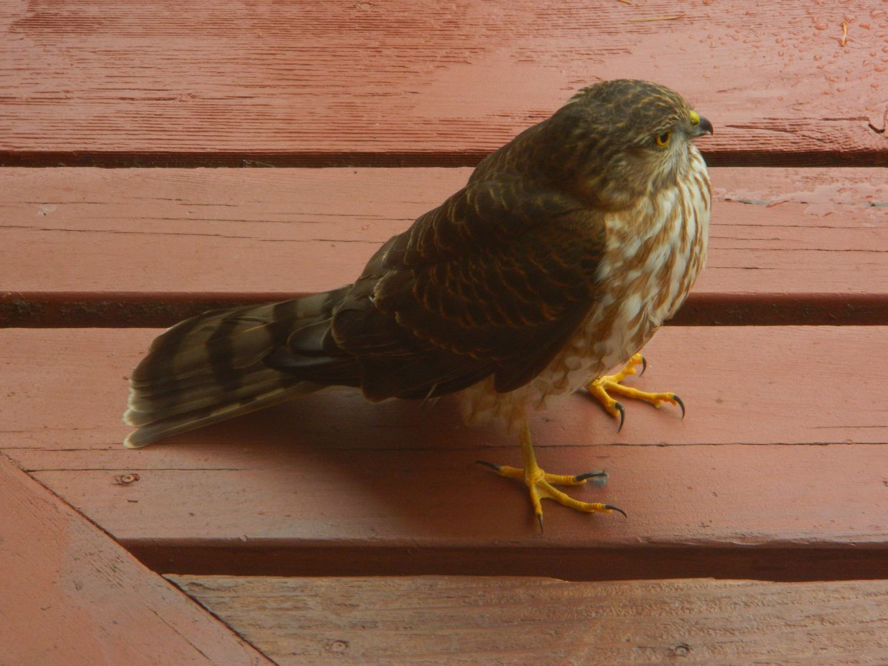 A stunned juvenile sharp-shinned hawk