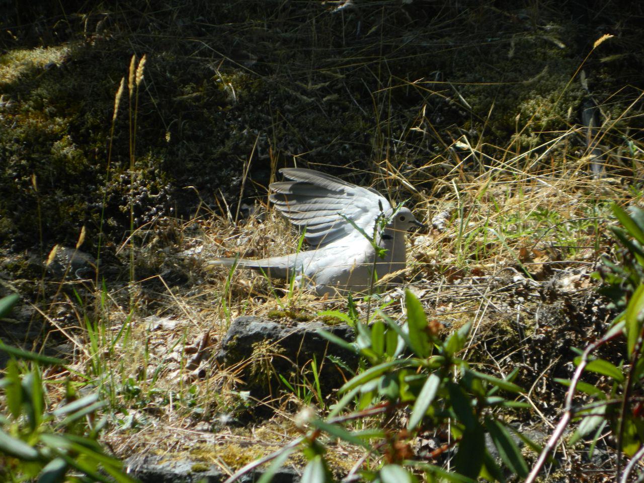 collard dove sunning