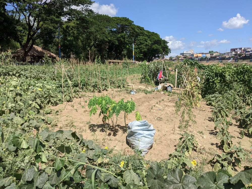 Urban farming on the riverbanks of Marikina River.