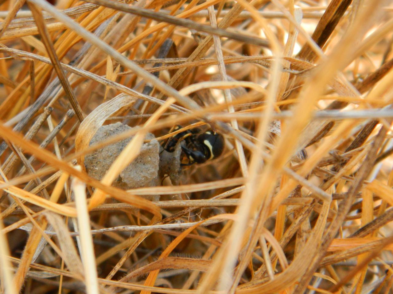 Potter wasp mama finishing her nest