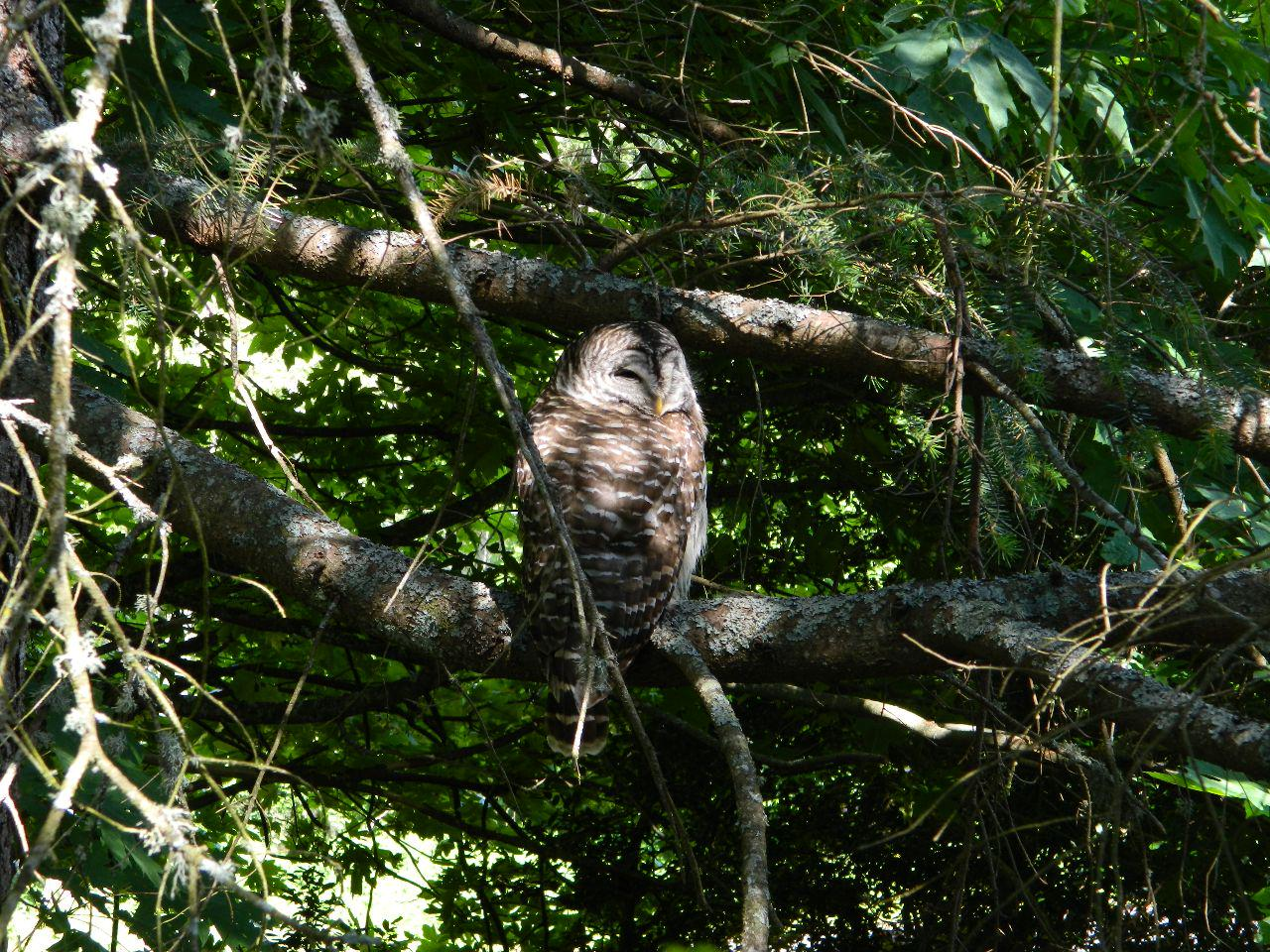 barred owl chill