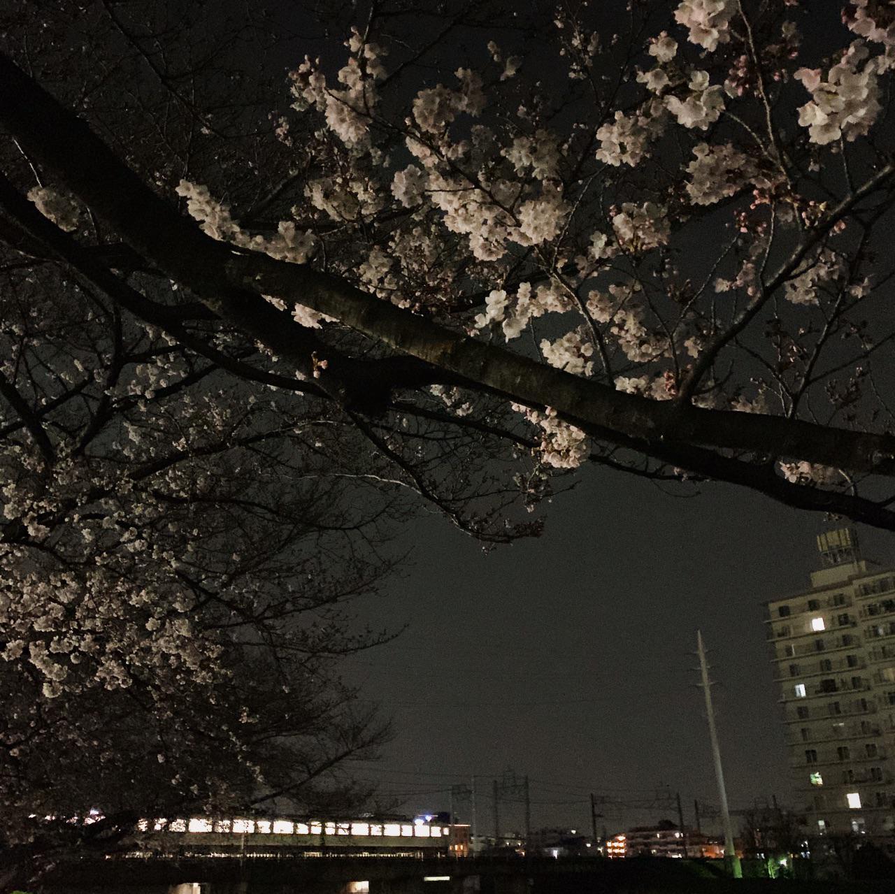 柳瀬川の夜桜