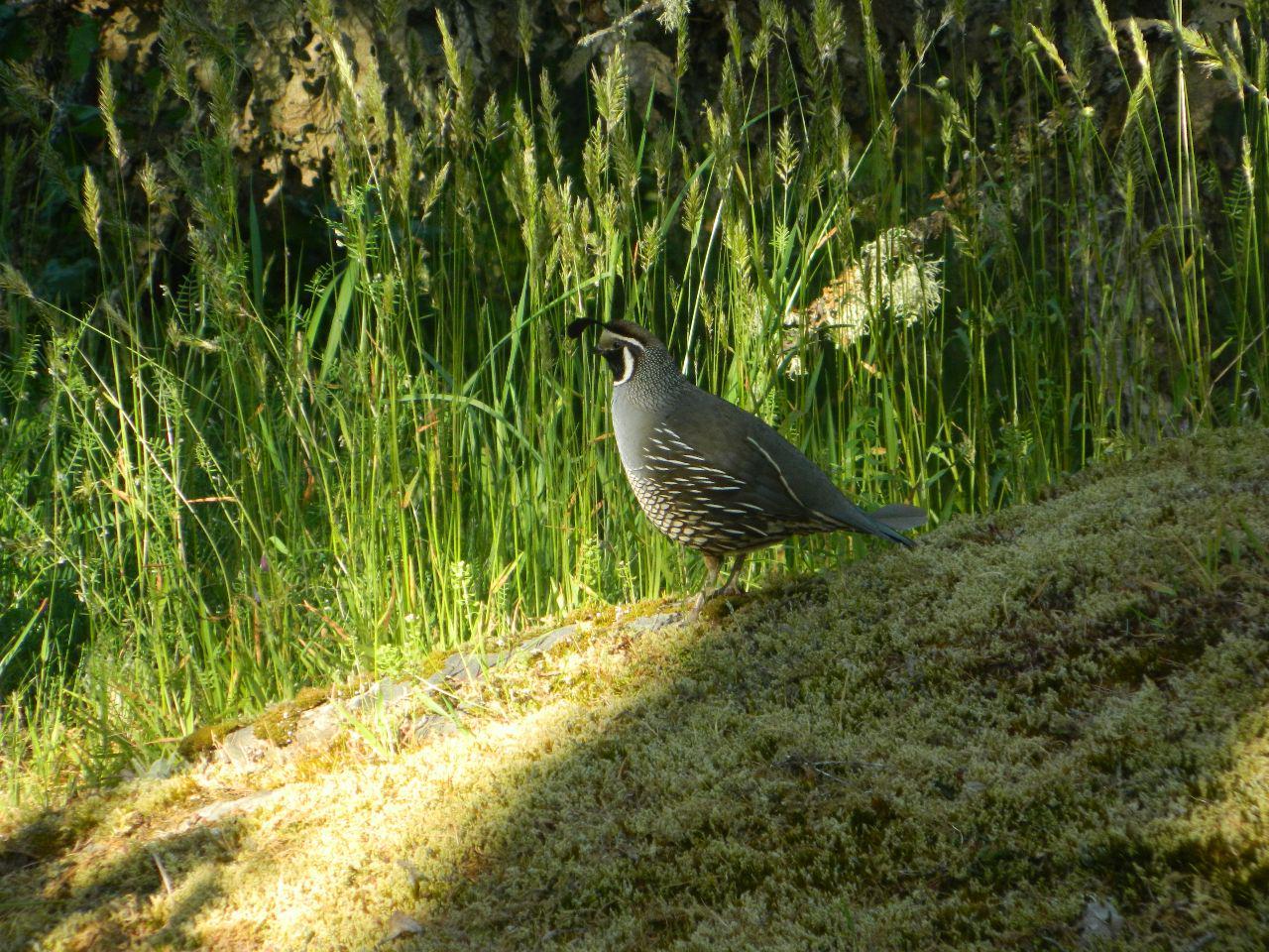 quail moss