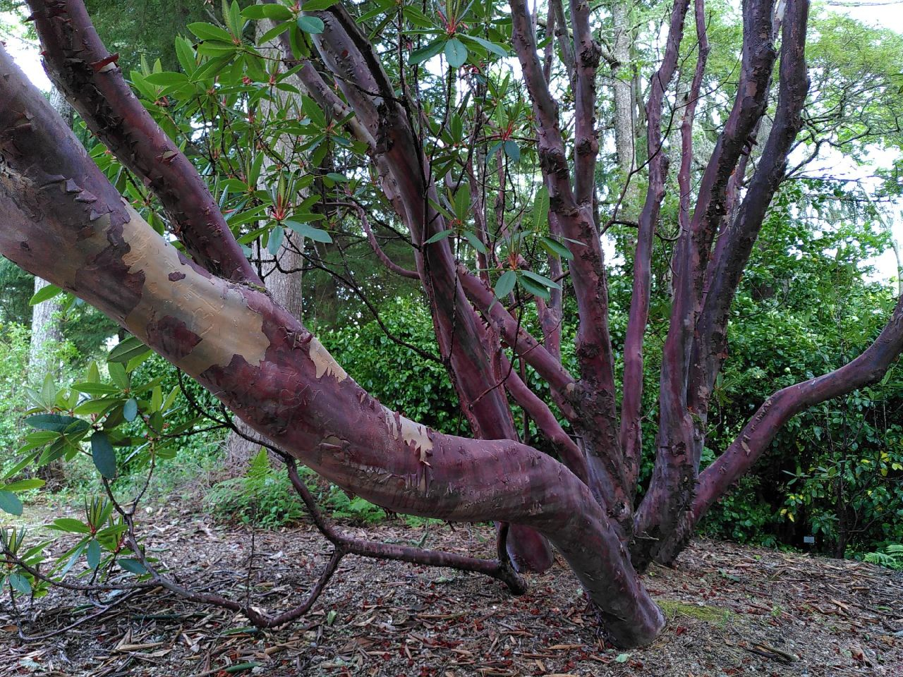 a think branch of a rhody leans toward the screen. The branch is a smooth, dark, red. Its bark appears papery and some has been removed.