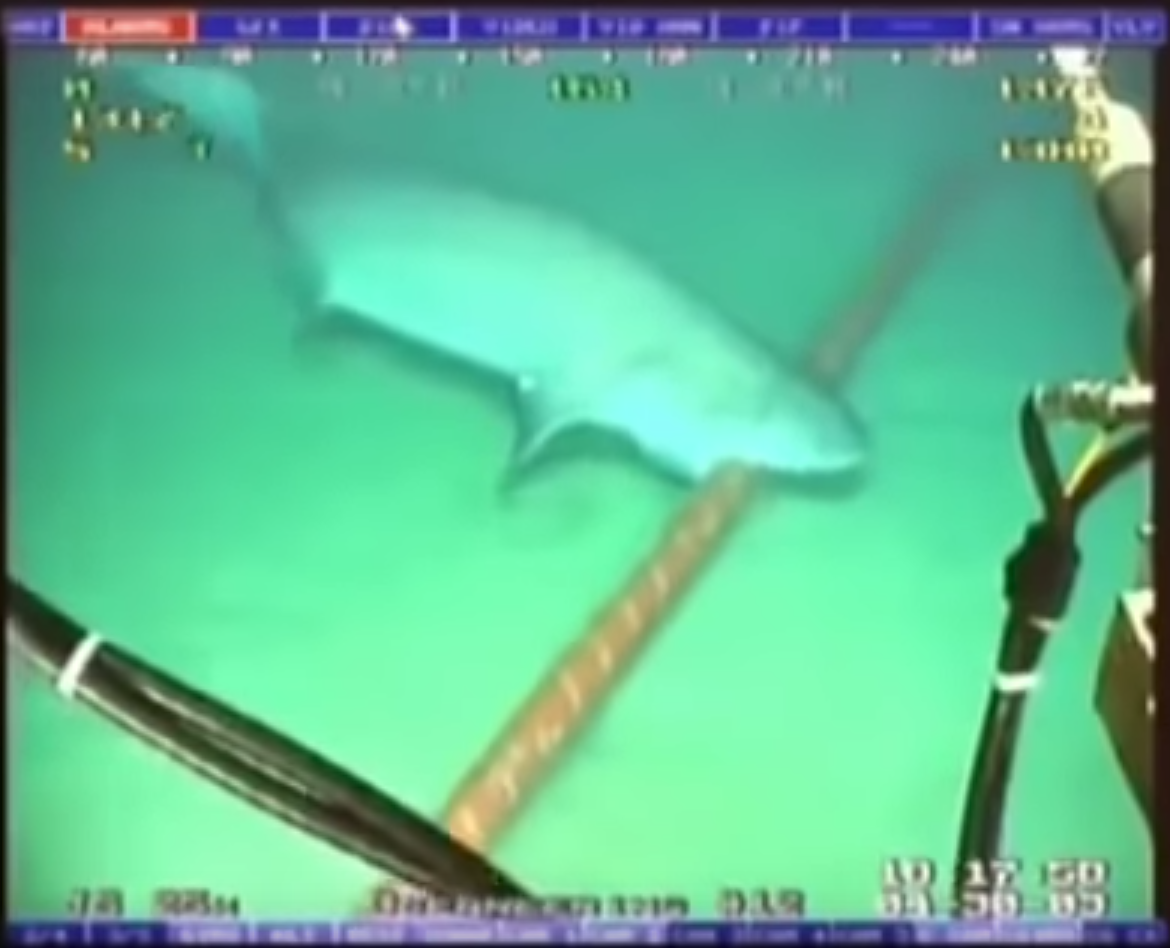Shark Attacking Submarine Cable