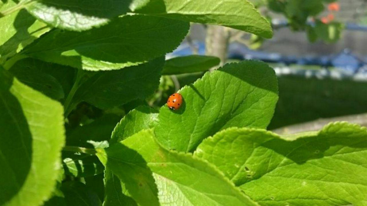 Ladybug on plum tree leaves.