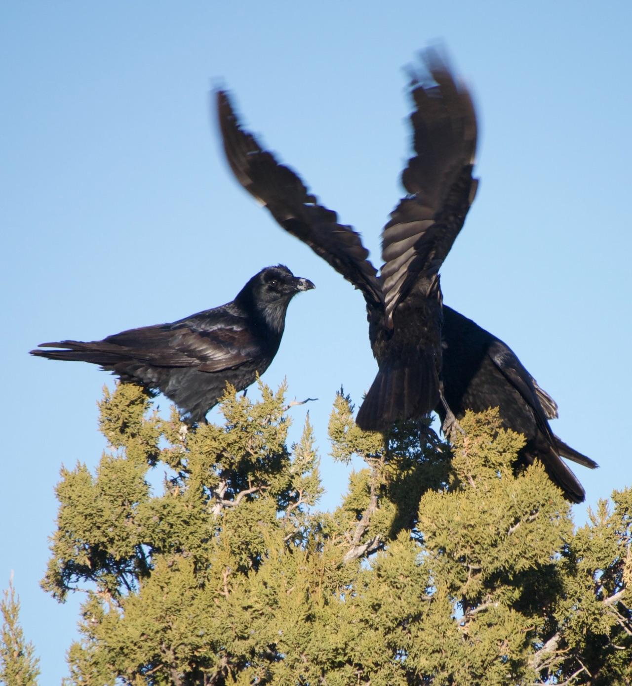 Three ravens in a juniper