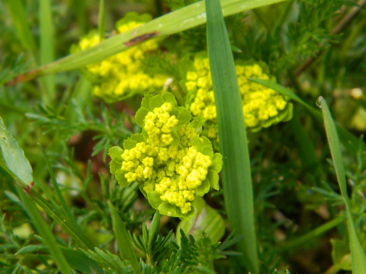 Spring Gold - Lomatium utricuatum