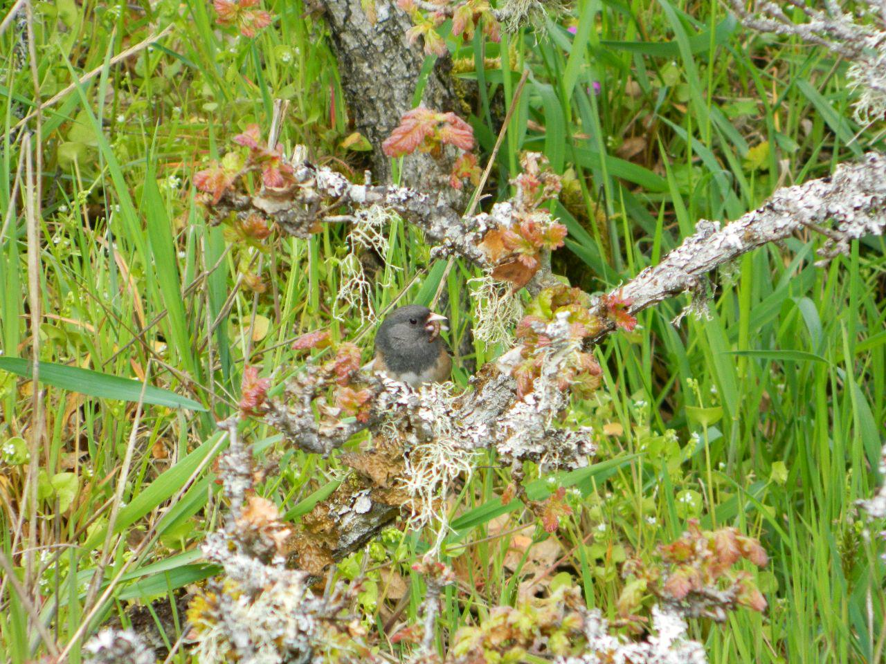 a grub to be delivered to baby junco