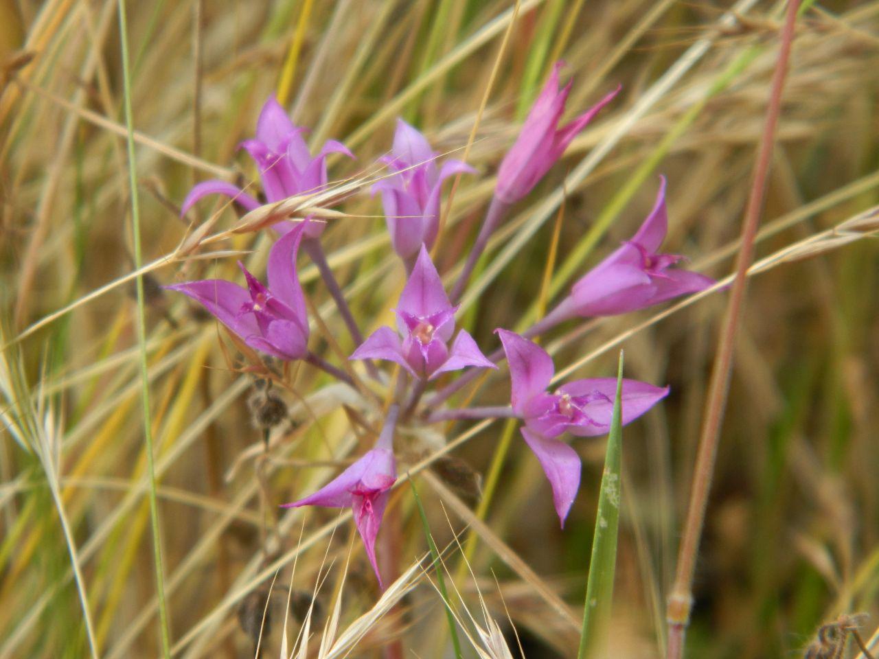 Hooker's Onion - Allium acuminatum