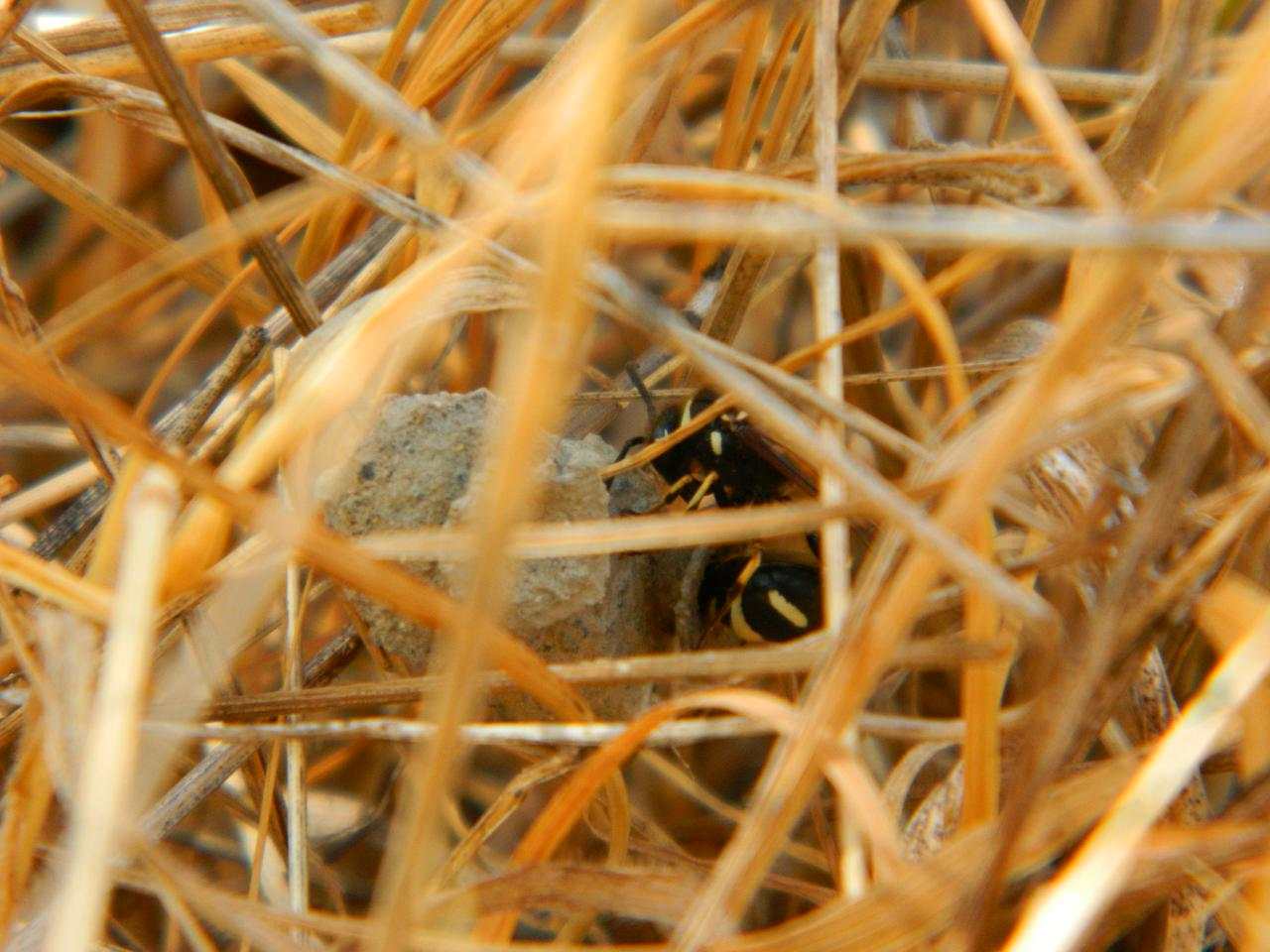 Potter wasp mama laying her egg inside the nest
