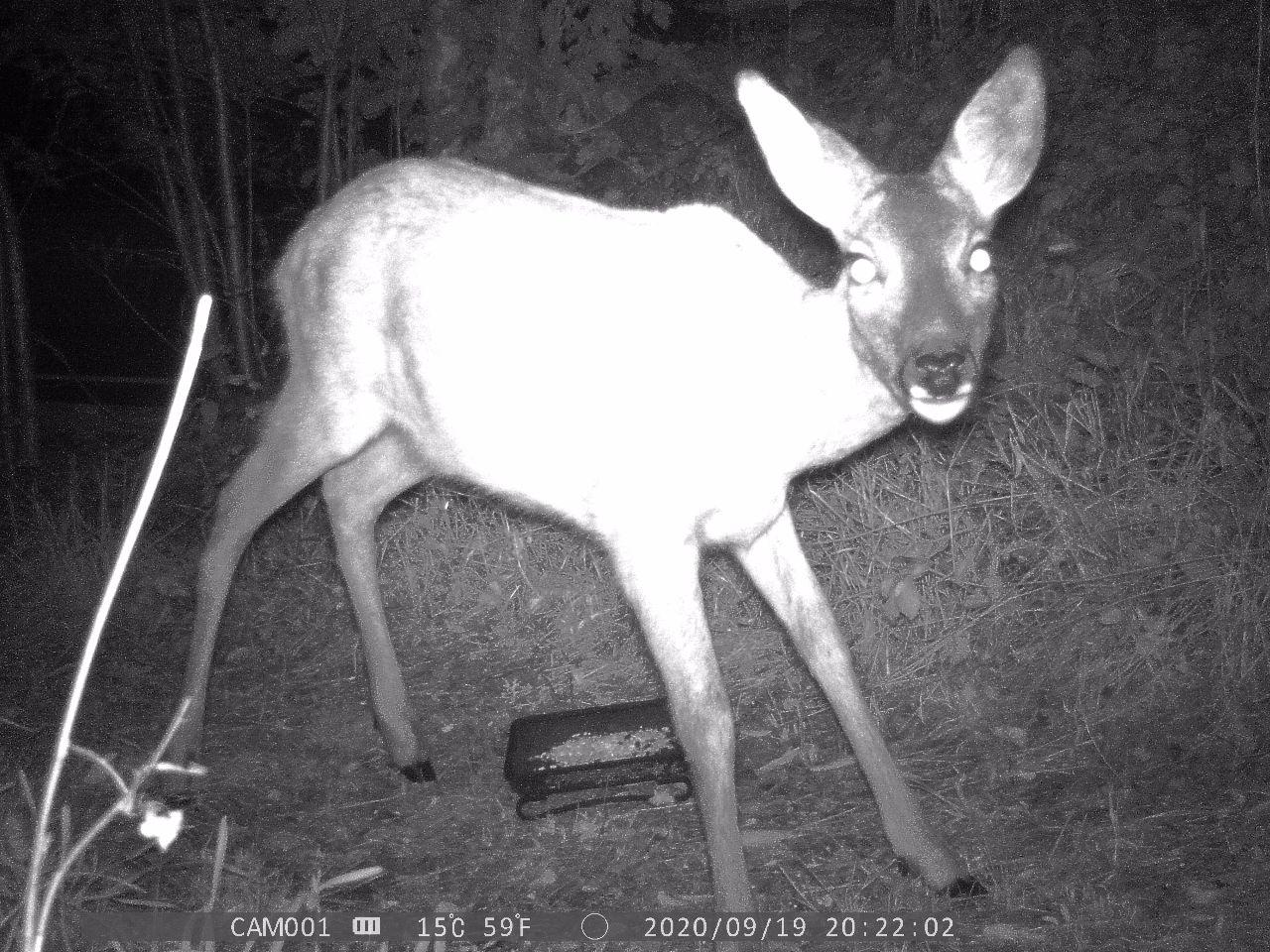 deer startled by the camera, its fur is lit up by the cameras light