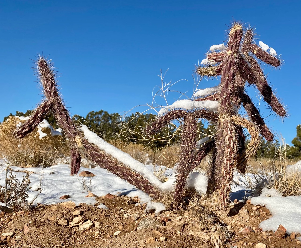 A cholla cactus in its winter purple, silhouetted against a clear blue sky, with snow on the arms.