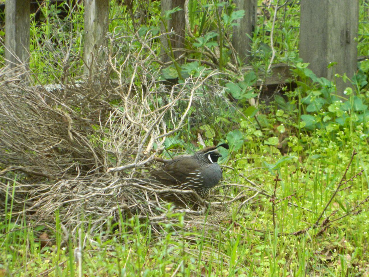 brush quail