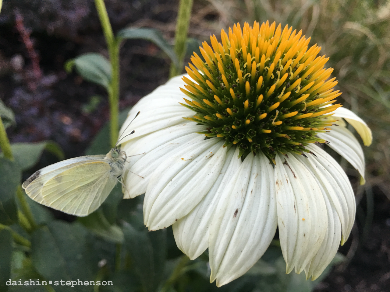 white echinacea blossom with white-winged moth on petal