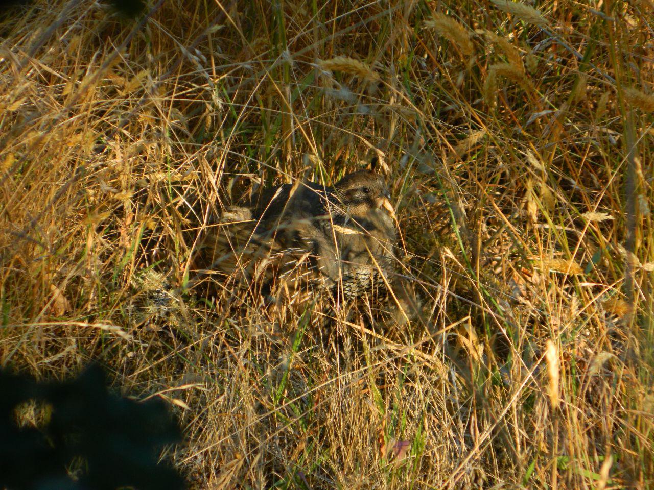 lady quail