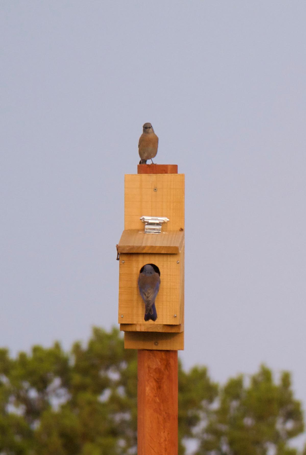Western bluebirds, checking out a birdhouse.